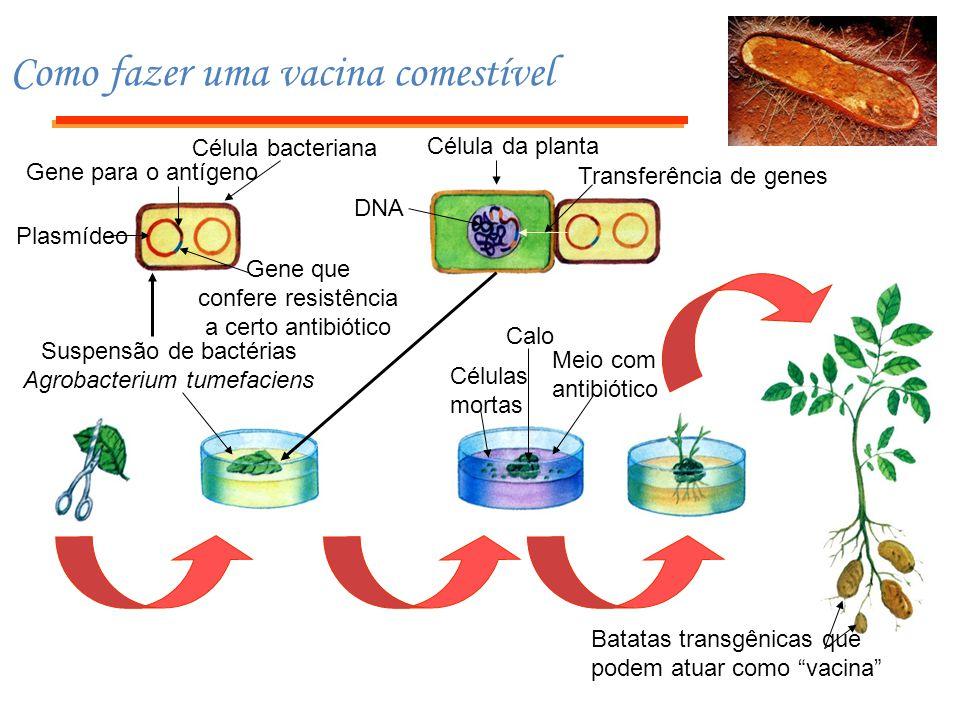 """Batatas transgênicas que podem atuar como """"vacina"""" Suspensão de bactérias Agrobacterium tumefaciens Calo Células mortas Meio com antibiótico Célula da"""