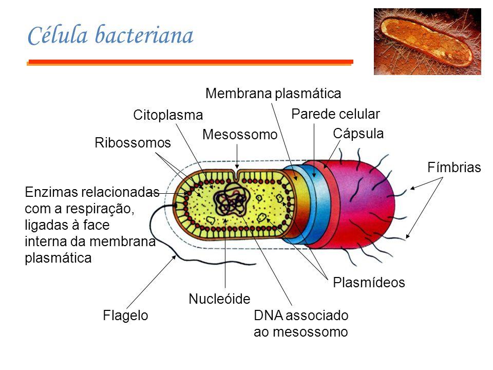 Batatas transgênicas que podem atuar como vacina Suspensão de bactérias Agrobacterium tumefaciens Calo Células mortas Meio com antibiótico Célula da planta Transferência de genes DNA Plasmídeo Gene para o antígeno Célula bacteriana Gene que confere resistência a certo antibiótico Como fazer uma vacina comestível