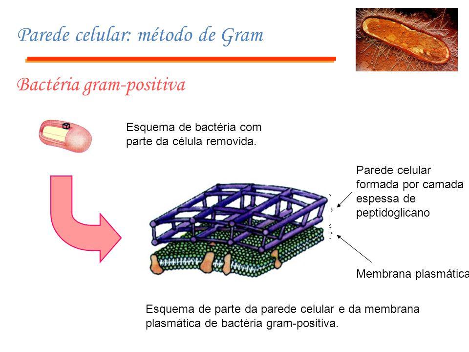 Parede celular: método de Gram Bactéria gram-negativa Esquema de bactéria com parte da célula removida.