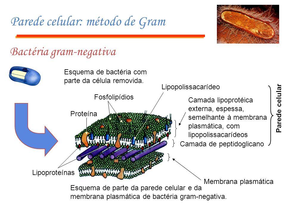 Parede celular: método de Gram Bactéria gram-negativa Esquema de bactéria com parte da célula removida. Esquema de parte da parede celular e da membra