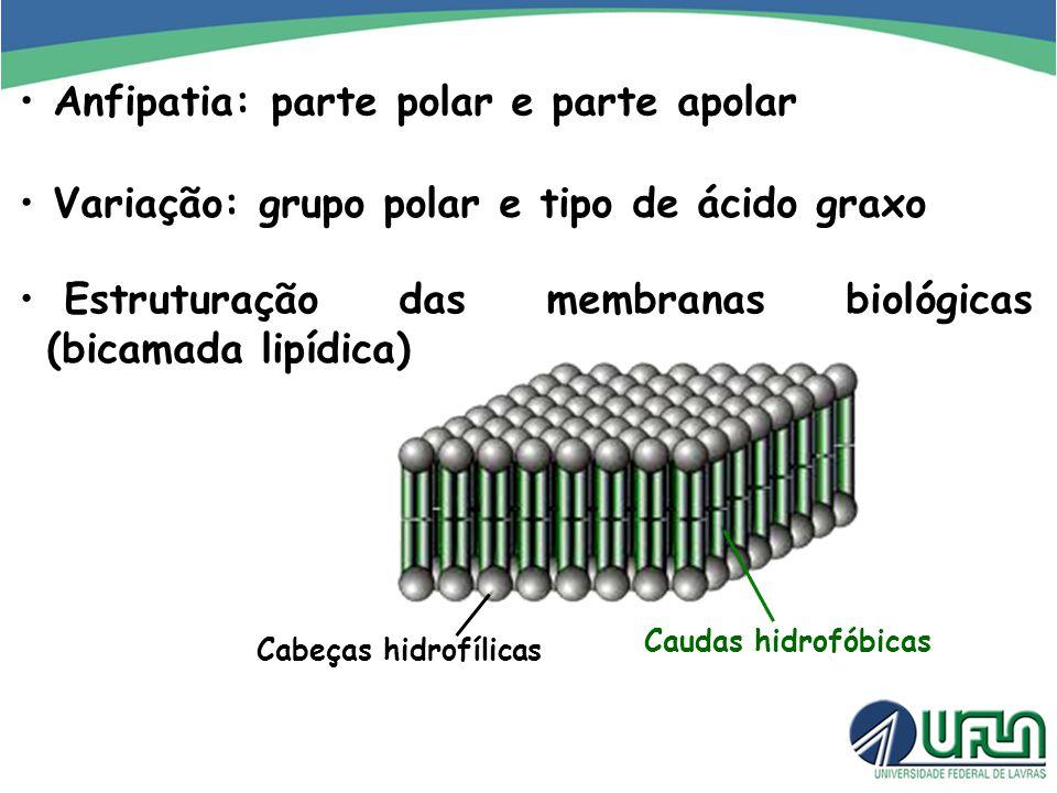 Anfipatia: parte polar e parte apolar Variação: grupo polar e tipo de ácido graxo Estruturação das membranas biológicas (bicamada lipídica) Cabeças hi