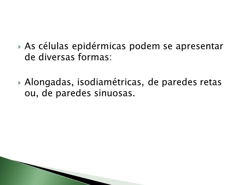  As células epidérmicas podem se apresentar de diversas formas:  Alongadas, isodiamétricas, de paredes retas ou, de paredes sinuosas.