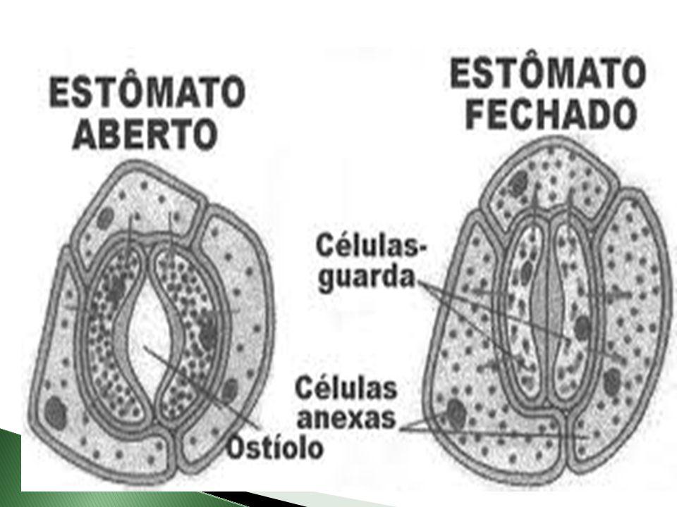  Segundo Metcalfe e Chalk, existem quatro tipos básicos de estomas nas dicotiledôneas:  Os anomicíticos,  Os anisocíticos,  Os diacíticos e  Os paracíticos.