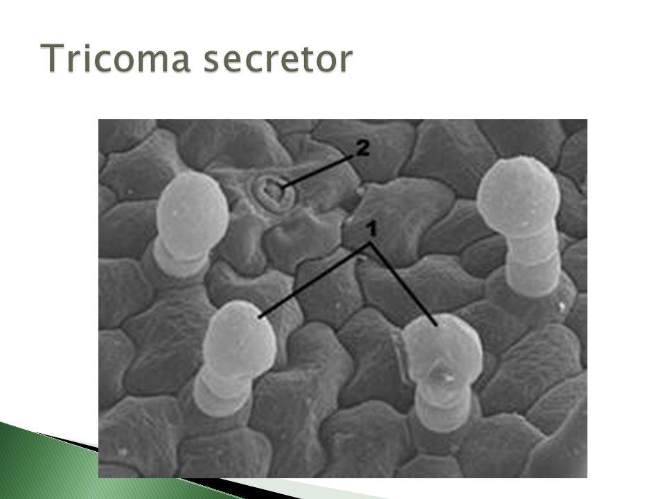 Escamas são tricomas pluricelulares ramificados planos, providos de um pequeno pé e que se dispõem de tal maneira sobre a epiderme que, se encontram paralelos a ela.