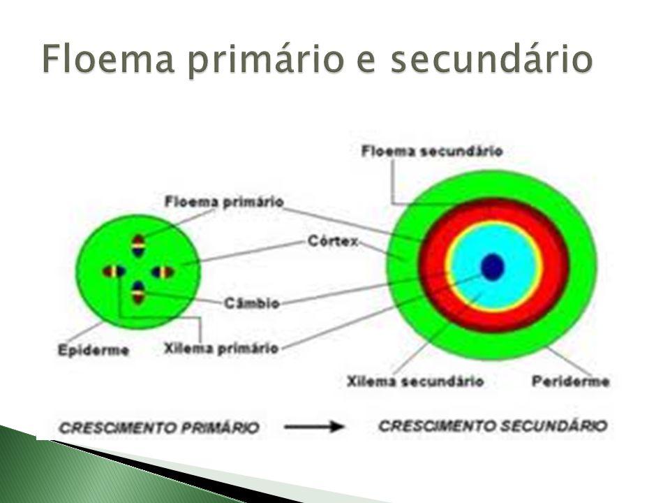  Elementos crivados:  Células crivadas são menos evoluídas e aparecem nas criptógamas vasculares e nas gimnospermas.