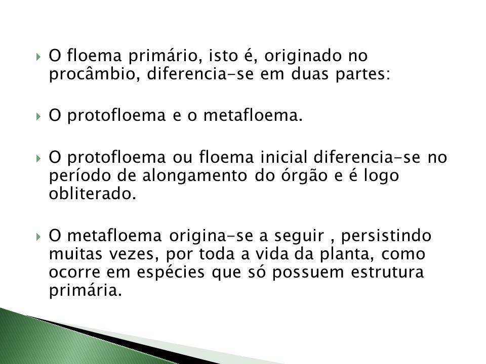  O floema primário, isto é, originado no procâmbio, diferencia-se em duas partes:  O protofloema e o metafloema.
