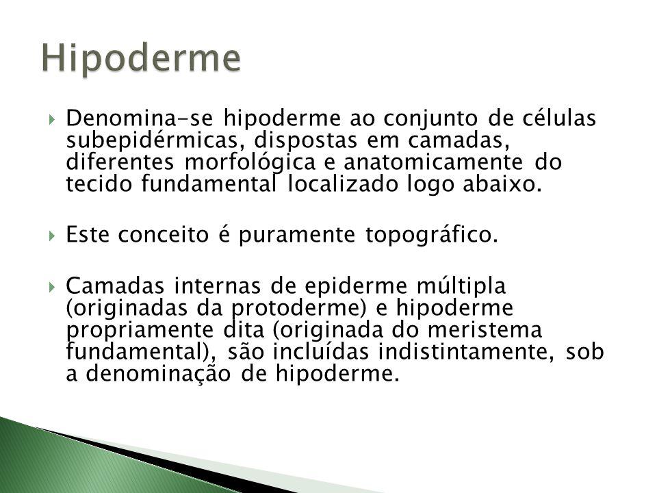  Denomina-se hipoderme ao conjunto de células subepidérmicas, dispostas em camadas, diferentes morfológica e anatomicamente do tecido fundamental localizado logo abaixo.