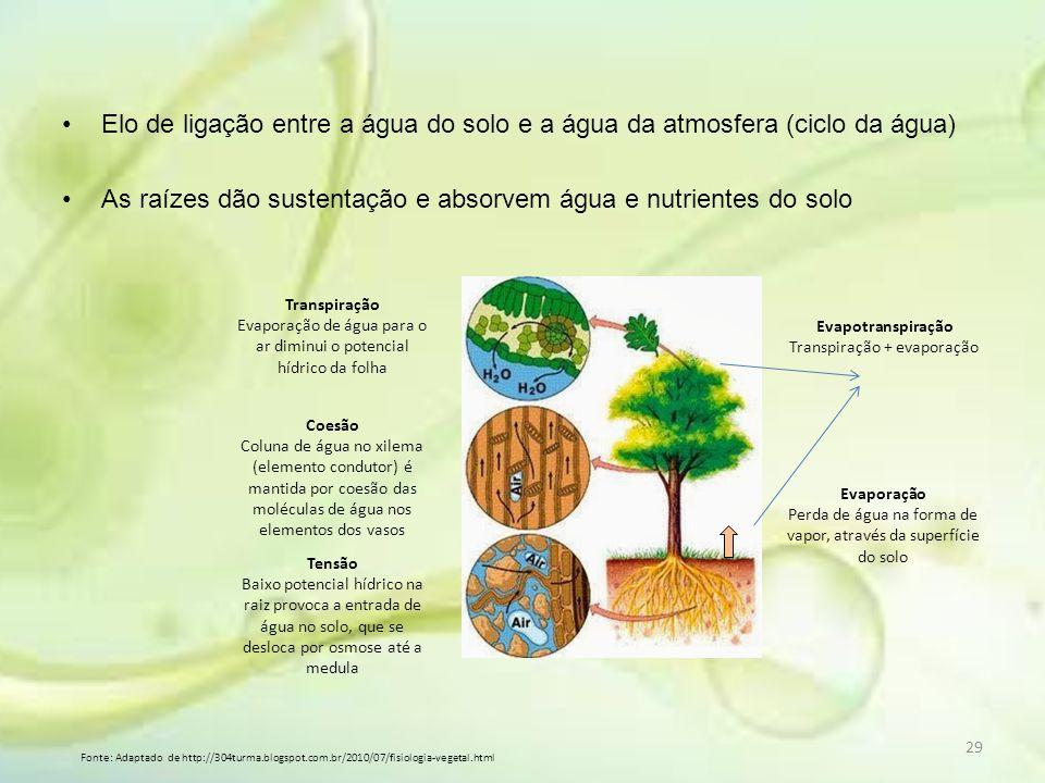 Elo de ligação entre a água do solo e a água da atmosfera (ciclo da água) As raízes dão sustentação e absorvem água e nutrientes do solo Transpiração