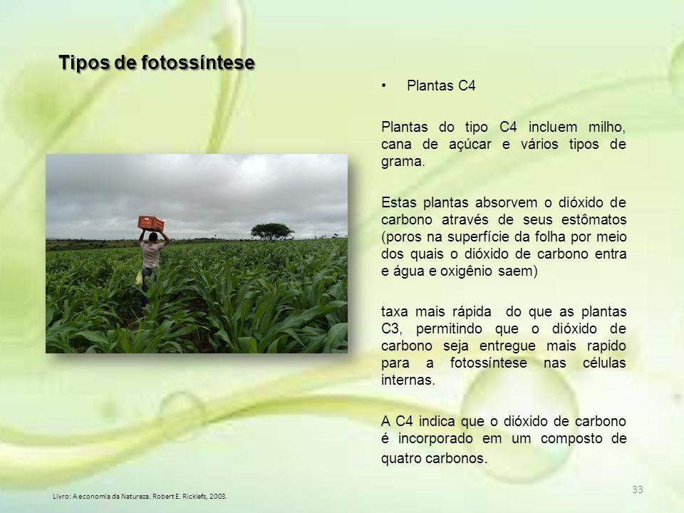 33 Tipos de fotossíntese Plantas C4 Plantas do tipo C4 incluem milho, cana de açúcar e vários tipos de grama. Estas plantas absorvem o dióxido de carb