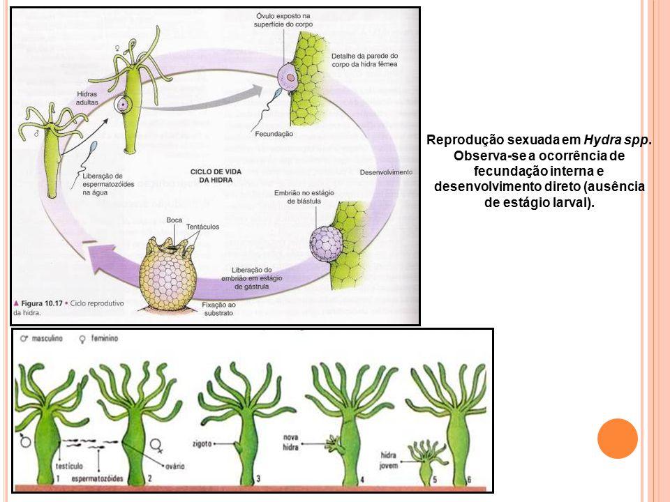 Reprodução sexuada em Hydra spp. Observa-se a ocorrência de fecundação interna e desenvolvimento direto (ausência de estágio larval).