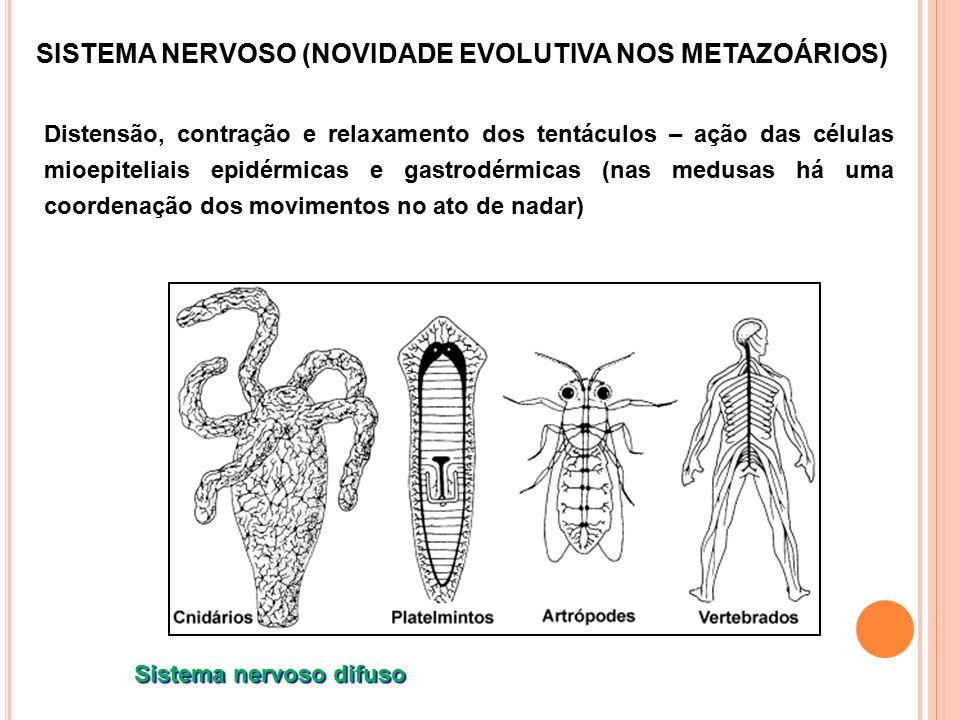 SISTEMA NERVOSO (NOVIDADE EVOLUTIVA NOS METAZOÁRIOS) Distensão, contração e relaxamento dos tentáculos – ação das células mioepiteliais epidérmicas e gastrodérmicas (nas medusas há uma coordenação dos movimentos no ato de nadar) Sistema nervoso difuso