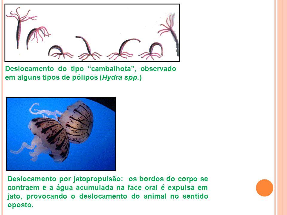 """Deslocamento do tipo """"cambalhota"""", observado em alguns tipos de pólipos (Hydra spp.) Deslocamento por jatopropulsão: os bordos do corpo se contraem e"""