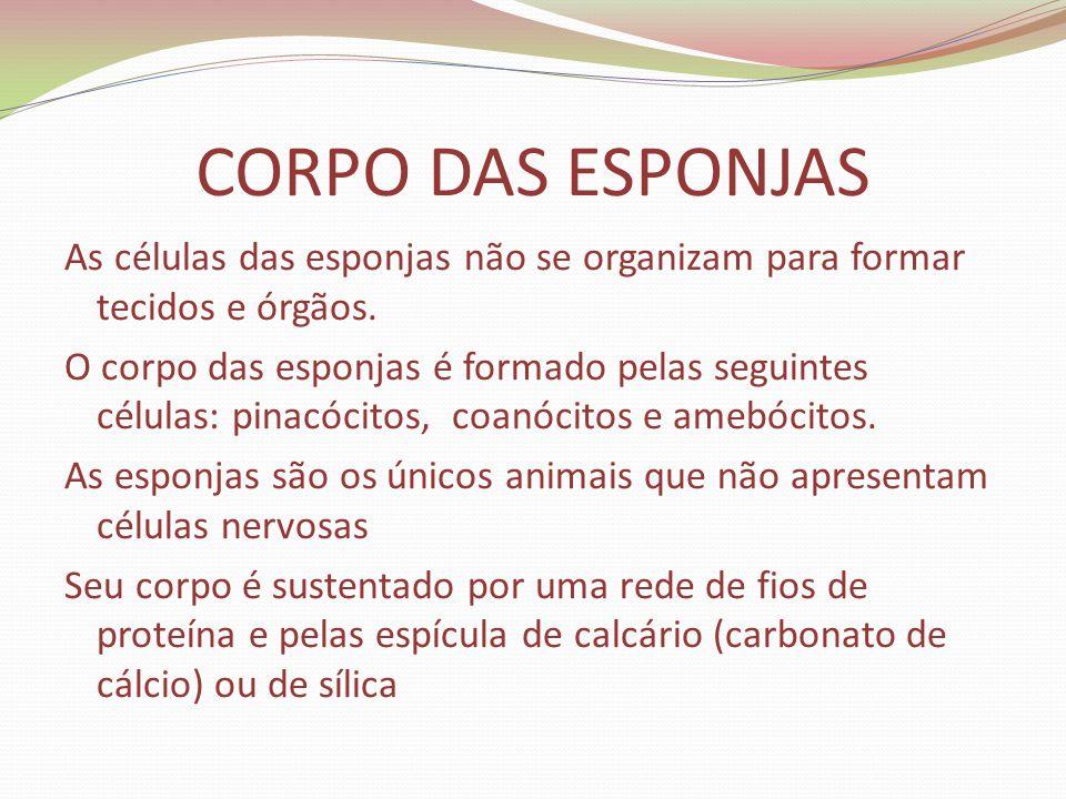 CORPO DAS ESPONJAS As células das esponjas não se organizam para formar tecidos e órgãos. O corpo das esponjas é formado pelas seguintes células: pina