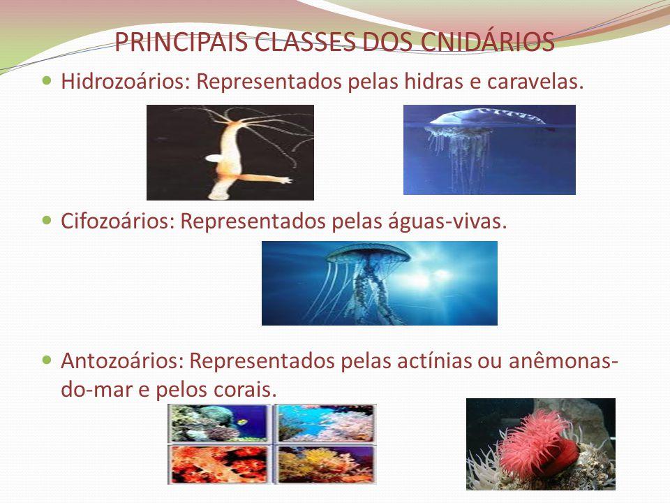 PRINCIPAIS CLASSES DOS CNIDÁRIOS Hidrozoários: Representados pelas hidras e caravelas. Cifozoários: Representados pelas águas-vivas. Antozoários: Repr