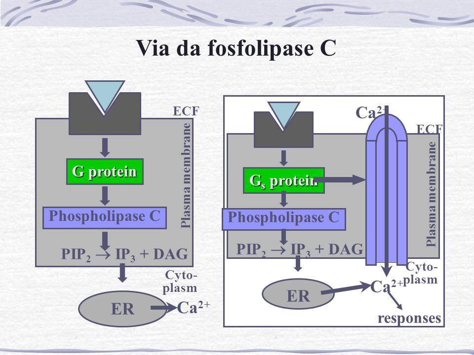 G protein Phospholipase C ECF Plasma membrane Cyto- plasm PIP 2  IP 3 + DAG Ca 2+ ER Via da fosfolipase C G s protein Phospholipase C ECF Plasma memb