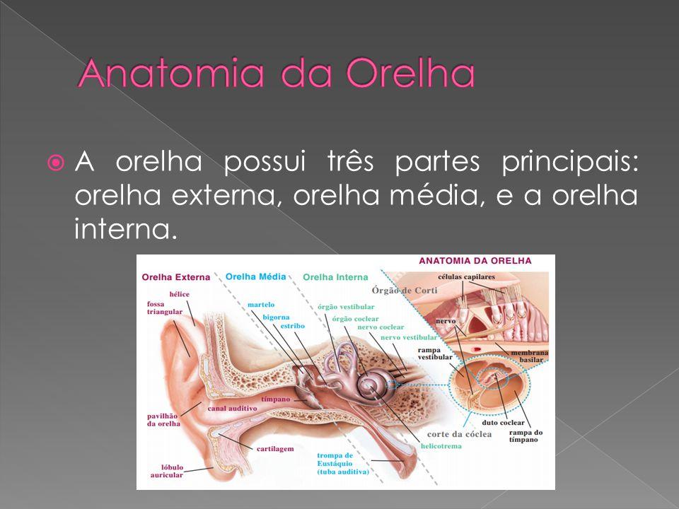  A orelha possui três partes principais: orelha externa, orelha média, e a orelha interna.