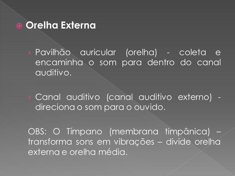  Orelha Externa › Pavilhão auricular (orelha) - coleta e encaminha o som para dentro do canal auditivo. › Canal auditivo (canal auditivo externo) - d