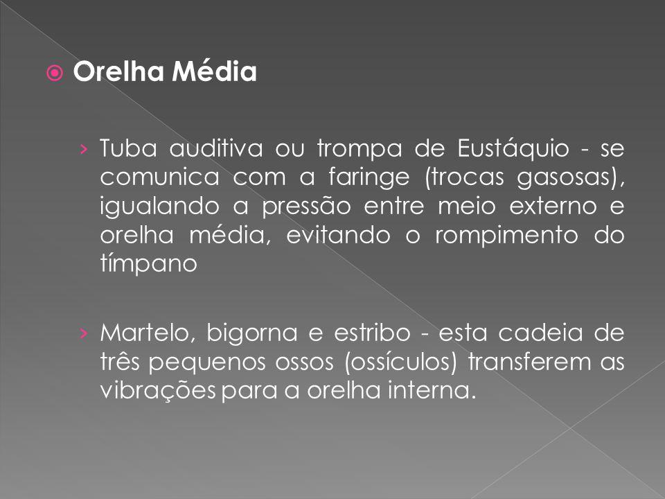  Orelha Média › Tuba auditiva ou trompa de Eustáquio - se comunica com a faringe (trocas gasosas), igualando a pressão entre meio externo e orelha mé