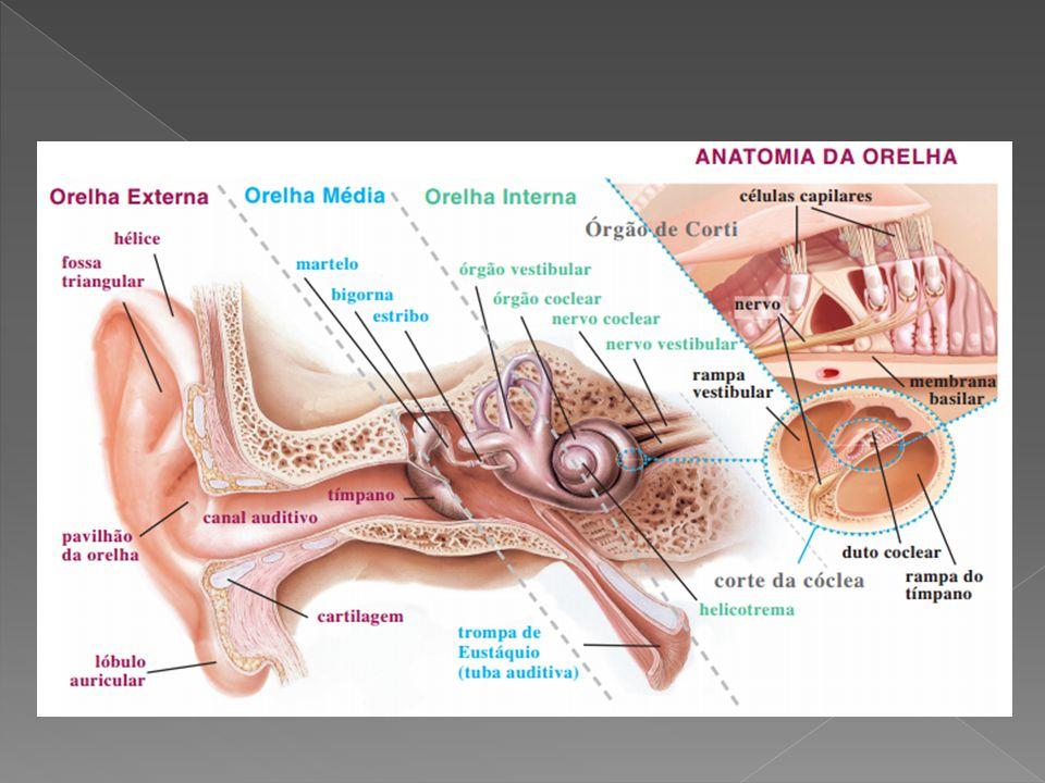  Tipo de Estímulo : Mecânico (Vibrações produzidas no tímpano)  Recepção: Células ciliadas (localizados na Cóclea).