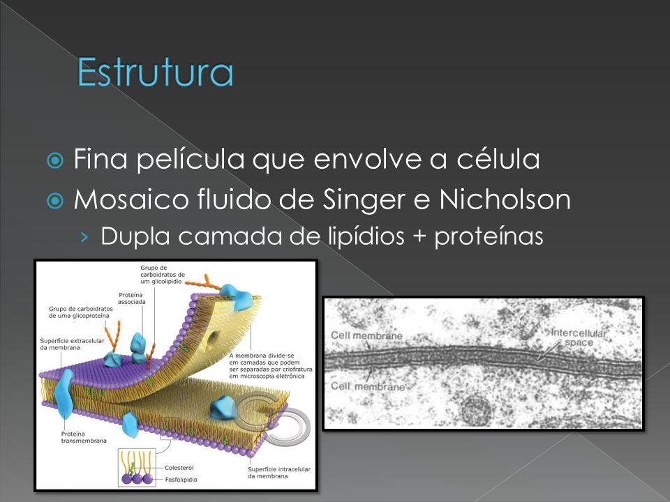  Fina película que envolve a célula  Mosaico fluido de Singer e Nicholson › Dupla camada de lipídios + proteínas