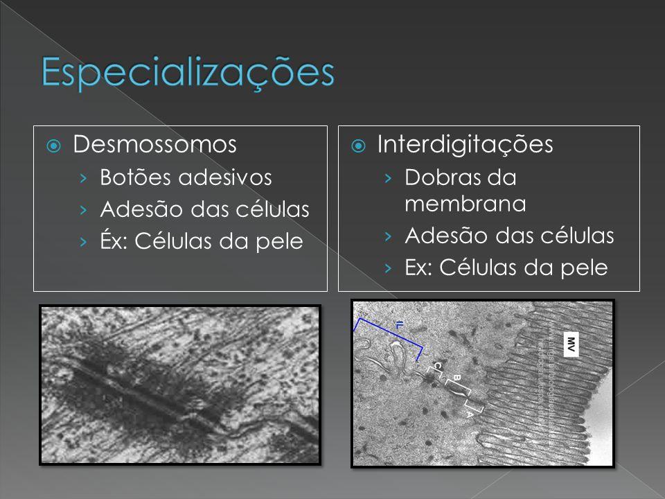  Desmossomos › Botões adesivos › Adesão das células › Éx: Células da pele  Interdigitações › Dobras da membrana › Adesão das células › Ex: Células d