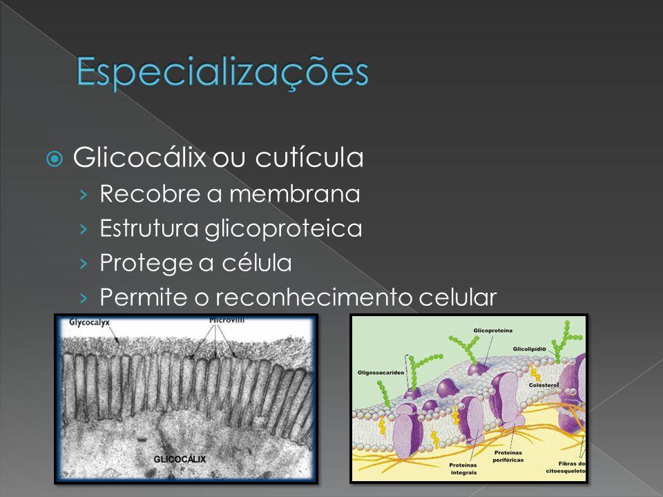  Glicocálix ou cutícula › Recobre a membrana › Estrutura glicoproteica › Protege a célula › Permite o reconhecimento celular