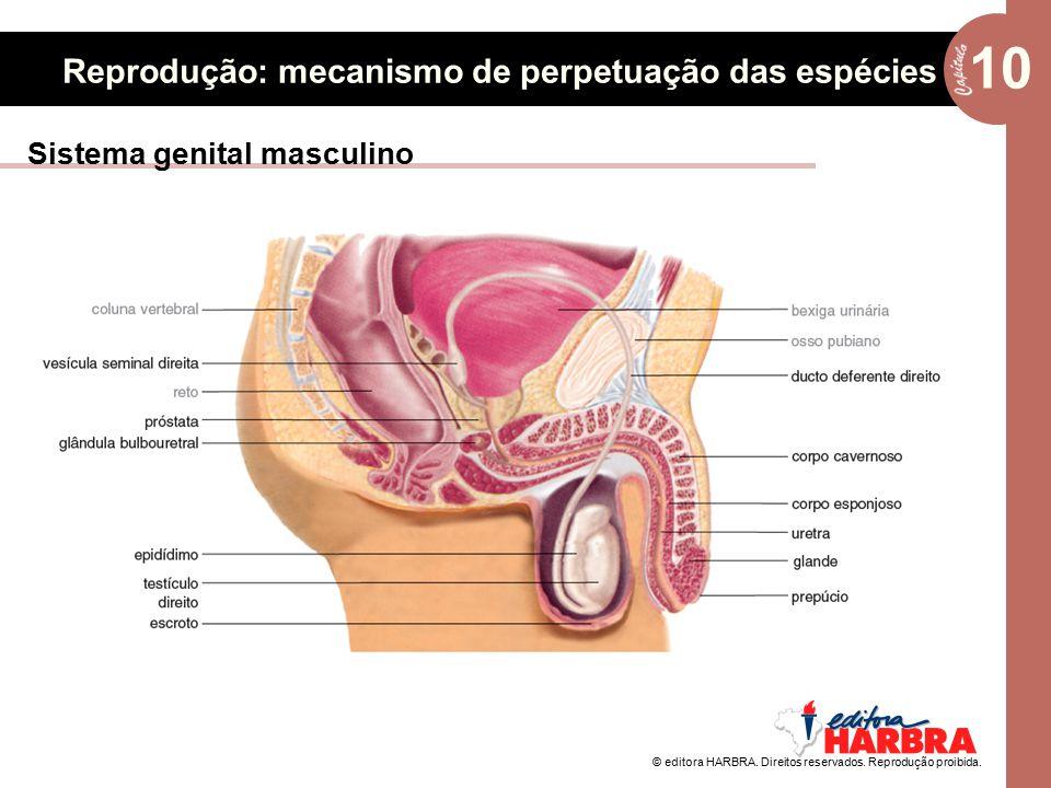 © editora HARBRA. Direitos reservados. Reprodução proibida. 10 Reprodução: mecanismo de perpetuação das espécies Sistema genital masculino