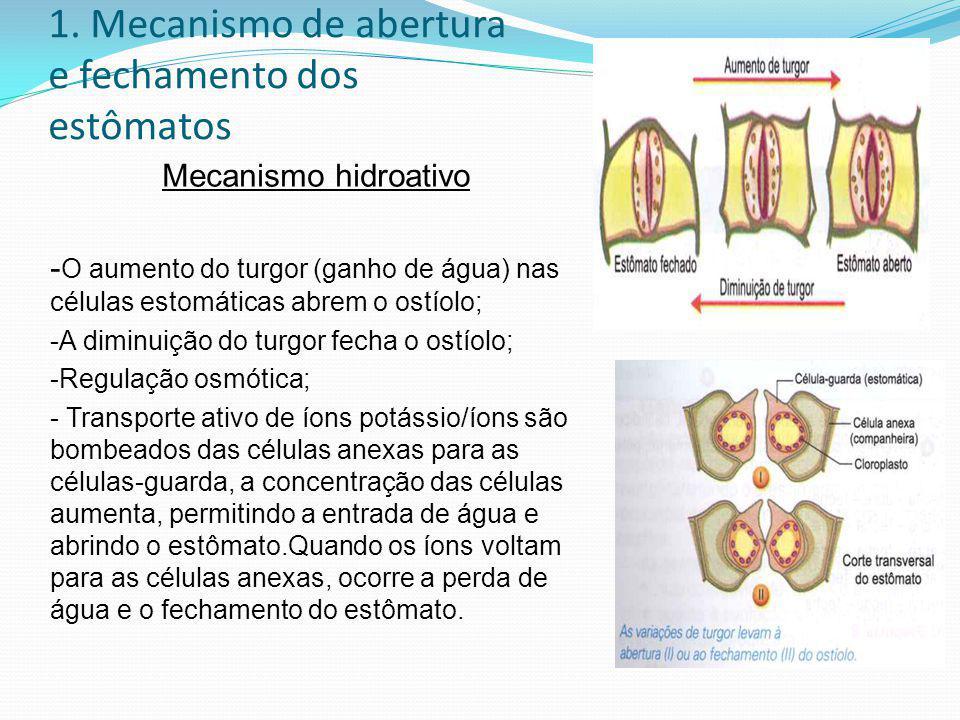 1. Mecanismo de abertura e fechamento dos estômatos Mecanismo hidroativo - O aumento do turgor (ganho de água) nas células estomáticas abrem o ostíolo