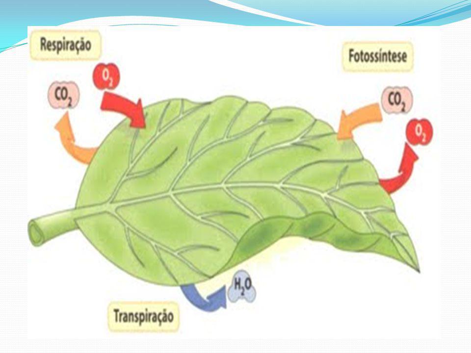 A influência do CO 2 As células estomáticas respondem a pressão parcial do CO 2 existente nos espaços intercelulares.