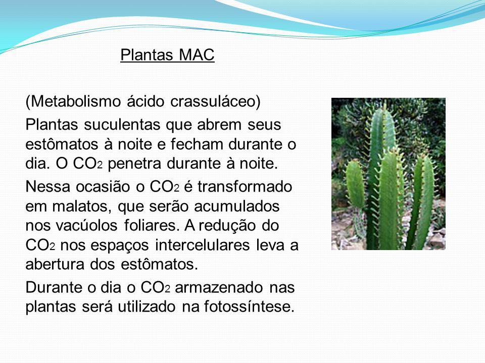 Plantas MAC (Metabolismo ácido crassuláceo) Plantas suculentas que abrem seus estômatos à noite e fecham durante o dia. O CO 2 penetra durante à noite
