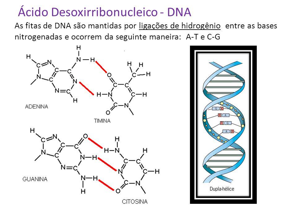Ácido Desoxirribonucleico - DNA As fitas de DNA são mantidas por ligações de hidrogênio entre as bases nitrogenadas e ocorrem da seguinte maneira: A-T
