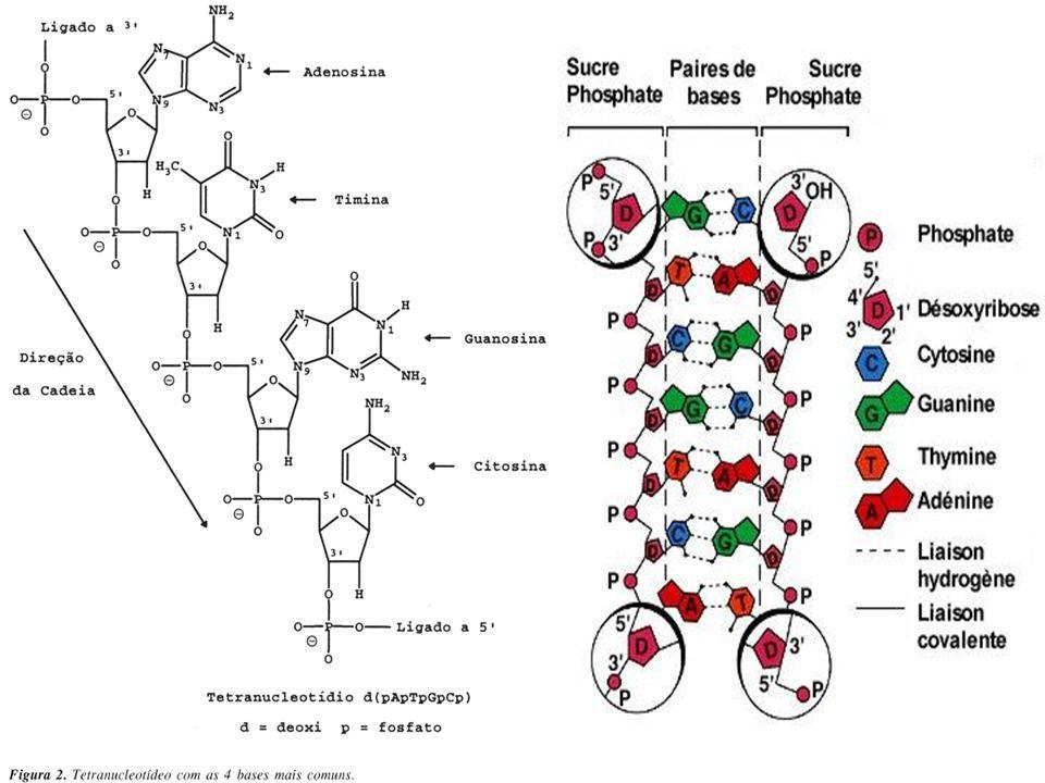 Duplicação do DNA A duplicação do DNA é semiconservativa, isto é, a metade da molécula original se conserva íntegra em cada uma das duas moléculas-filhas.