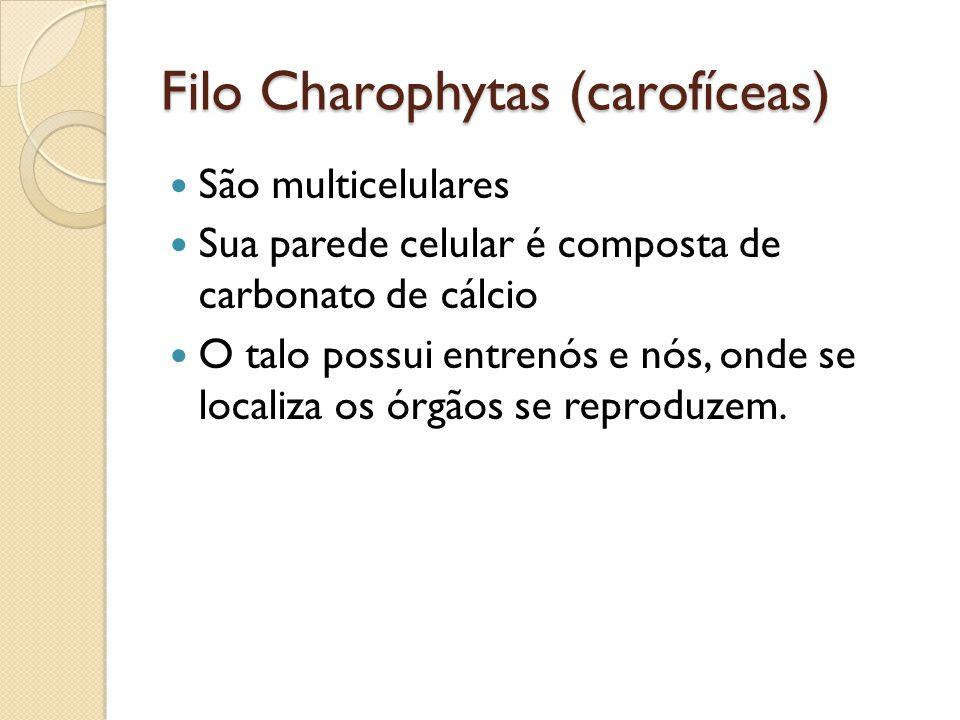 Filo Charophytas (carofíceas) São multicelulares Sua parede celular é composta de carbonato de cálcio O talo possui entrenós e nós, onde se localiza o