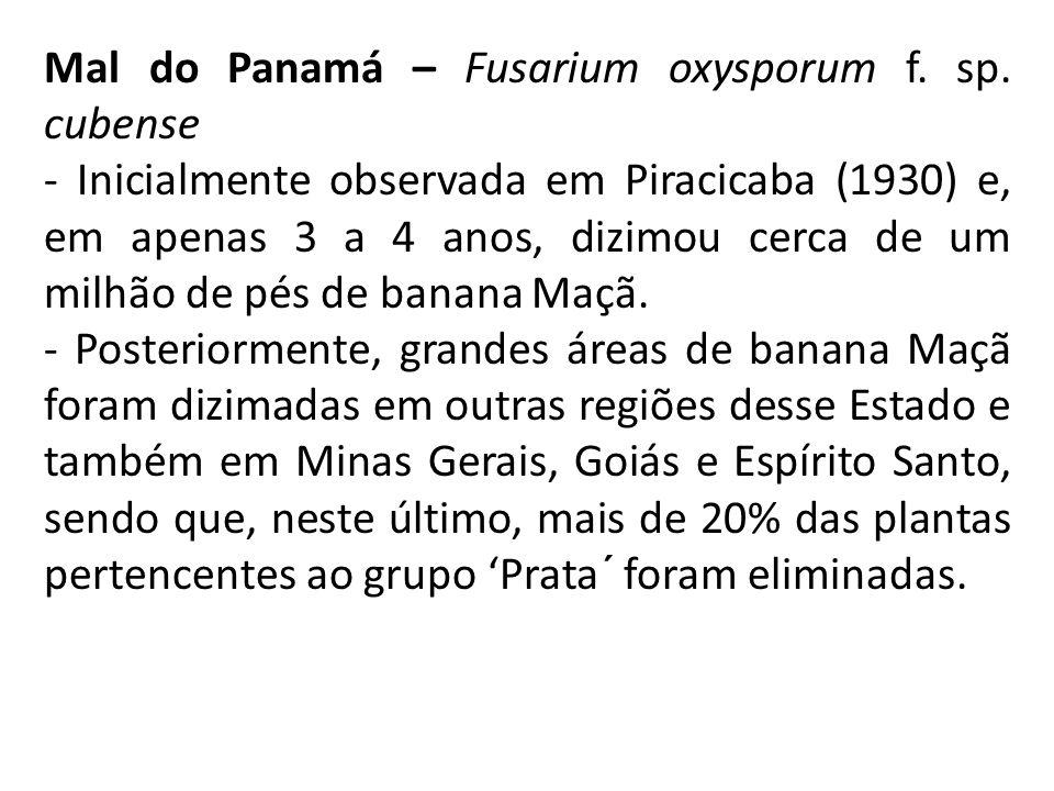 Mal do Panamá – Fusarium oxysporum f.sp.