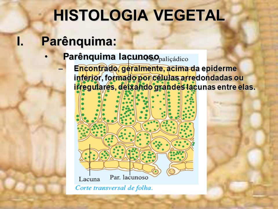 HISTOLOGIA VEGETAL I.Parênquima: Parênquima lacunosoParênquima lacunoso –Encontrado, geralmente, acima da epiderme inferior, formado por células arred