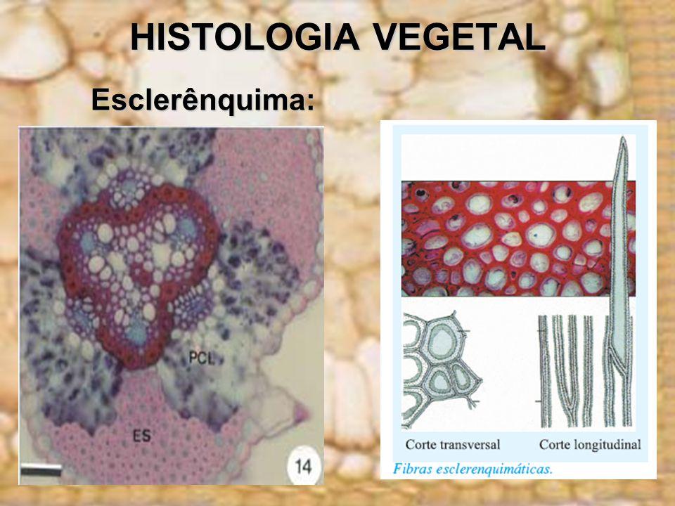 HISTOLOGIA VEGETAL Esclerênquima: Esclerênquima: