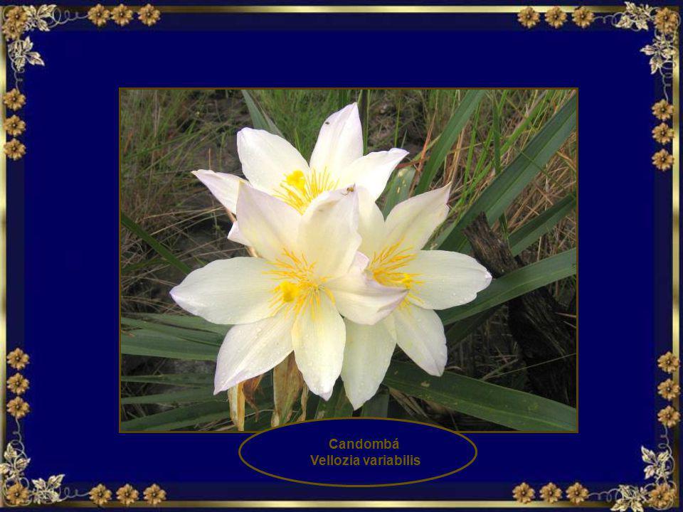 Rosa do campo, Flor de Santa Rita Kielmeyera rubriflora