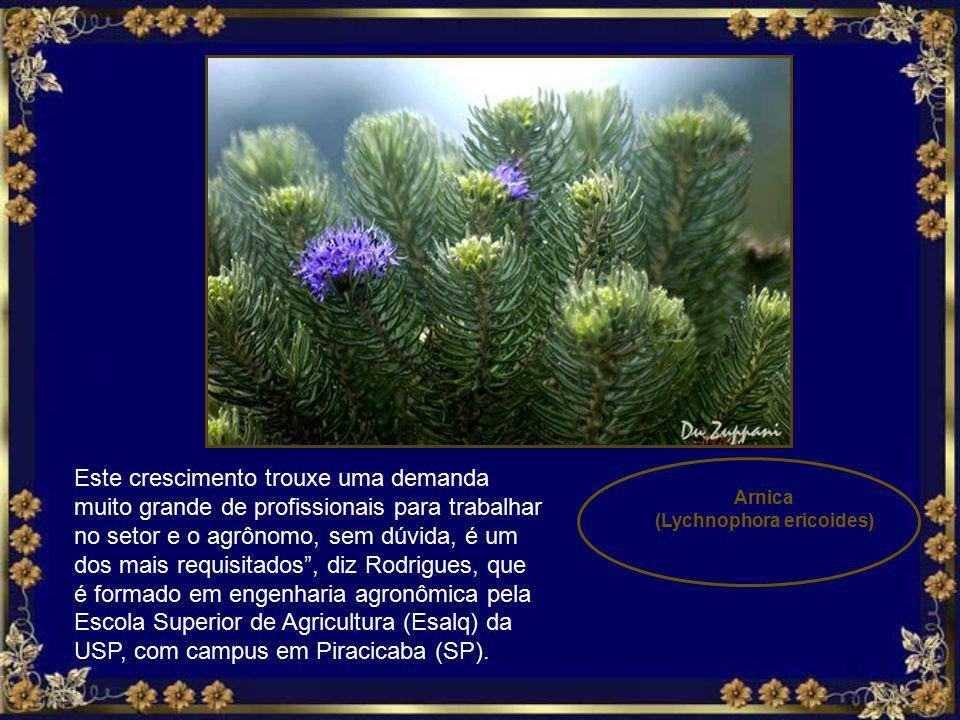 Mimosa regina Mimosaceae Baeneby