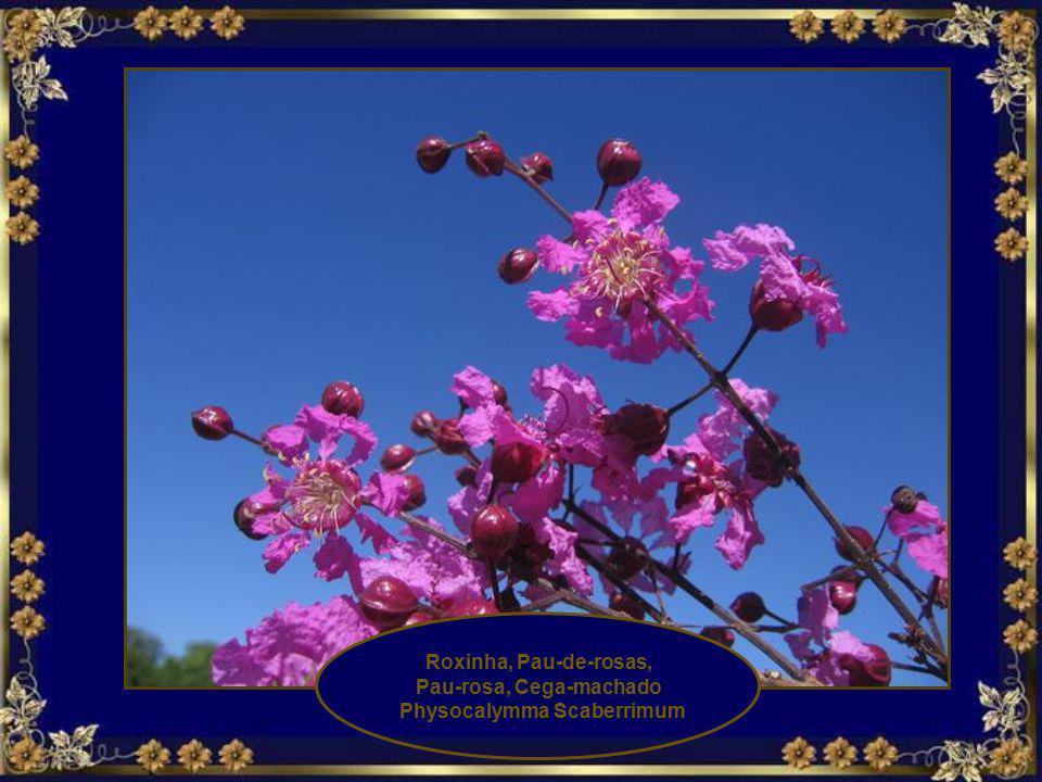 Roxinha, Pau-de-rosas, Pau-rosa, Cega-machado Physocalymma Scaberrimum