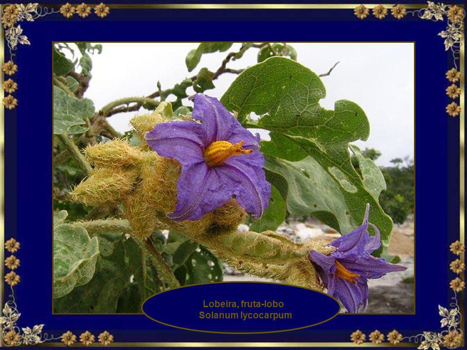 Lobeira, fruta-lobo Solanum lycocarpum