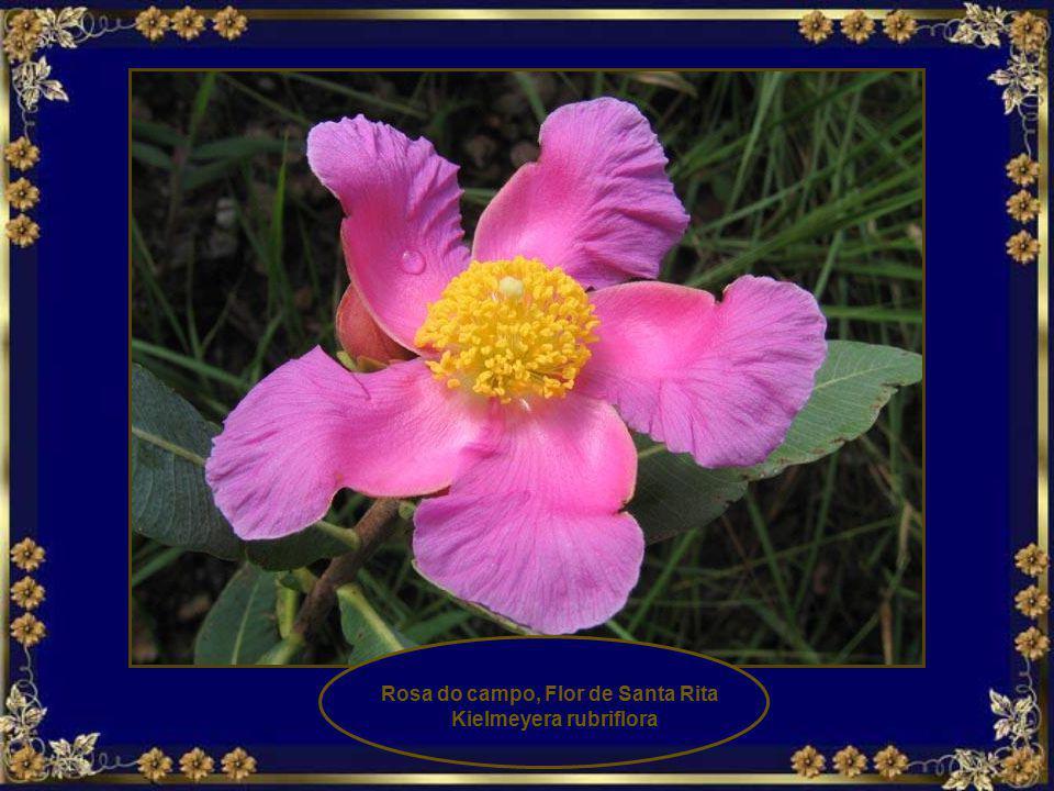 Corda de viola Ipomoea procumbens