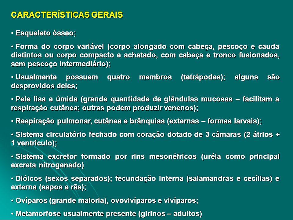 CLASSIFICAÇÃO AMPHIBIA (CLASSE) ORDEM ANURA (desprovidos de cauda) – sapos (pele rugosa, com verrugas e pequenos tubérculos), rãs (pele lisa) e pererecas (pele lisa e arborícolas) ORDEM CAUDATA OU URODELA (salamandras) – corpo alongado, quatro pernas e cauda longa ORDEM APODA OU GYMNOPHIONA (cobras-cegas ou cecílias) – corpo cilíndrico e alongado, vivendo enterrados no solo ou no lodo das lagoas
