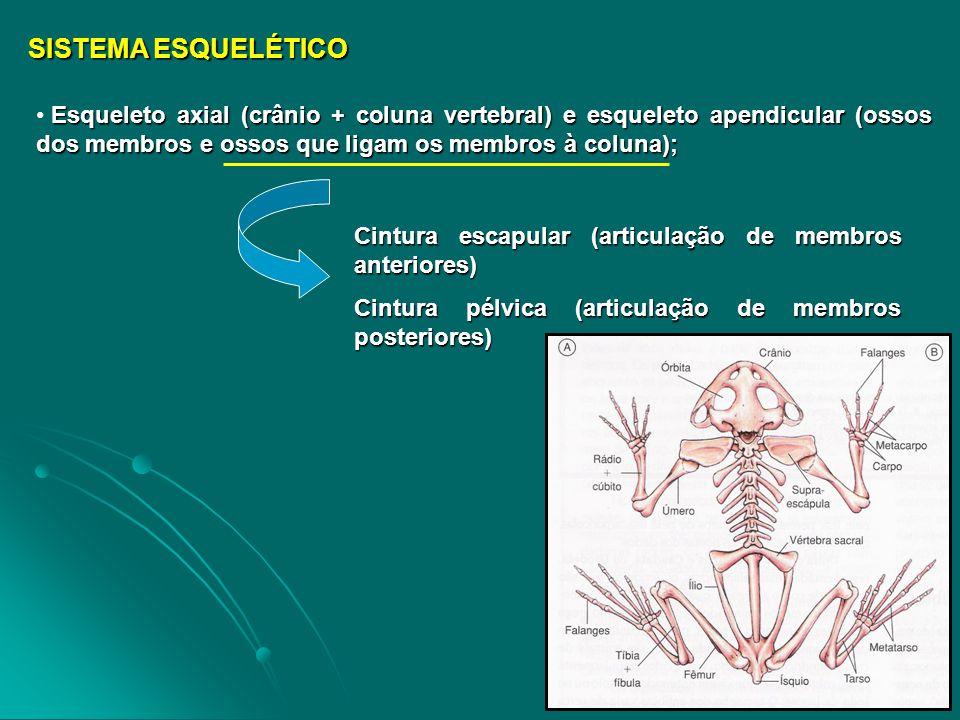 SISTEMA RESPIRATÓRIO / CIRCULATÓRIO / URINÁRIO Larvas de anfíbios respiram por brânquias e pela pele (cutânea); já os adultos respiram por pulmões e também pela pele OBSERVAÇÃO .