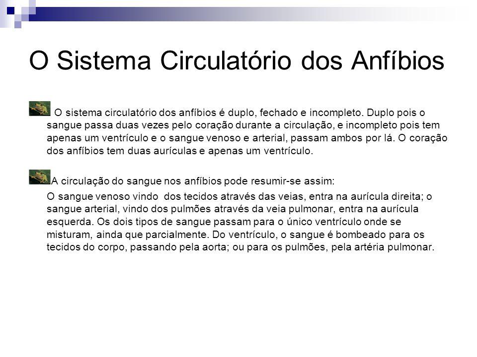 O Sistema Circulatório dos Anfíbios O sistema circulatório dos anfíbios é duplo, fechado e incompleto.