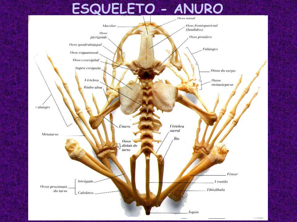 ESQUELETO - ANURO