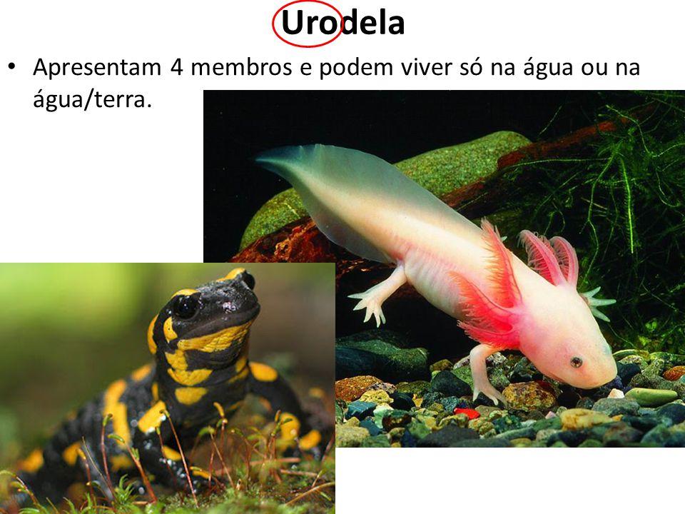 Urodela Apresentam 4 membros e podem viver só na água ou na água/terra.