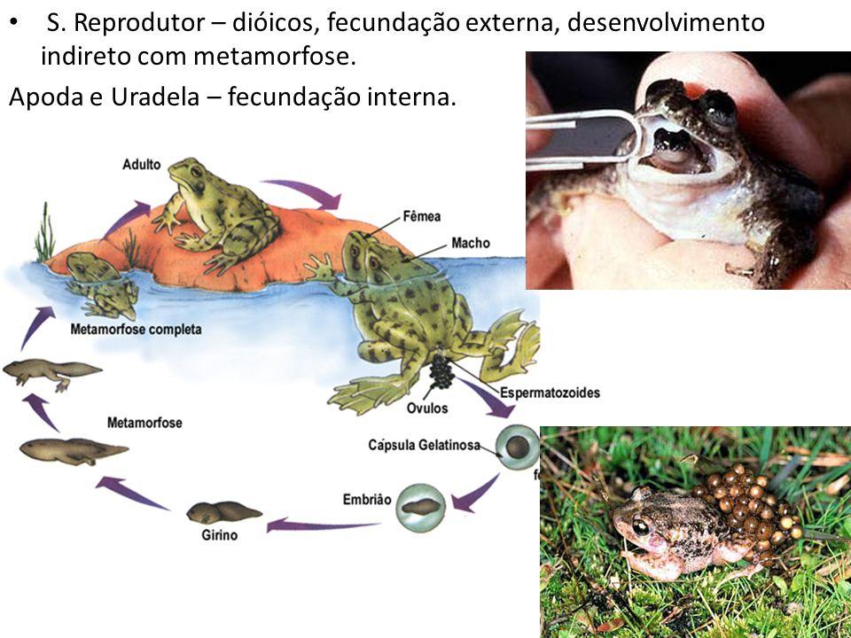 S. Reprodutor – dióicos, fecundação externa, desenvolvimento indireto com metamorfose. Apoda e Uradela – fecundação interna.