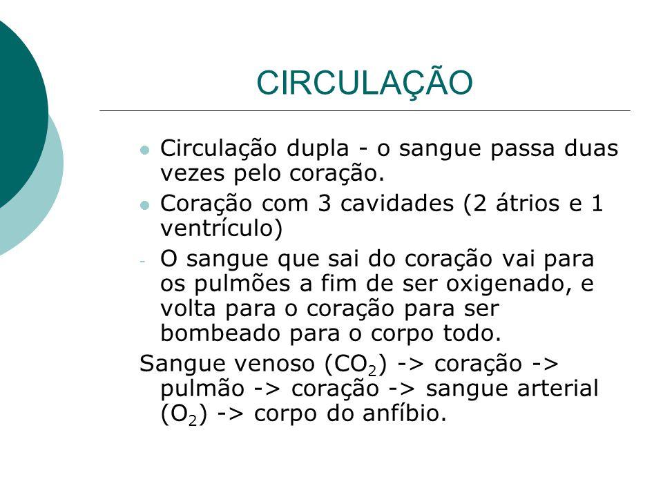 CIRCULAÇÃO Circulação dupla - o sangue passa duas vezes pelo coração. Coração com 3 cavidades (2 átrios e 1 ventrículo) - O sangue que sai do coração