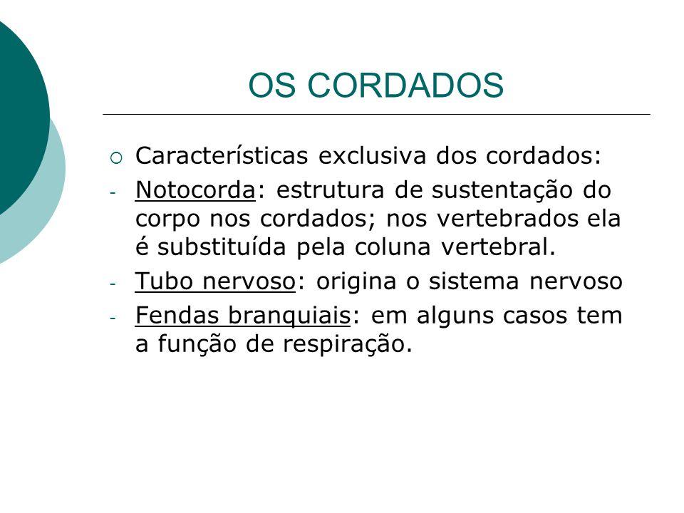 OS CORDADOS  Características exclusiva dos cordados: - Notocorda: estrutura de sustentação do corpo nos cordados; nos vertebrados ela é substituída p