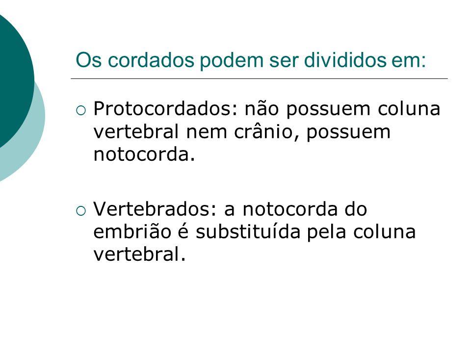 Os cordados podem ser divididos em:  Protocordados: não possuem coluna vertebral nem crânio, possuem notocorda.  Vertebrados: a notocorda do embrião
